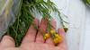 rubber rabbitbrush - Ericameria nauseosa subsp. nauseosa (ERNAN3)