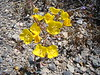 Yellow cups - Camissonia brevipes (CABR23)