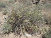 woolly fruit bur ragweed - Ambrosia eriocentra (AMER)