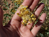 Alkali goldenbush - Isocoma acradenia var. eremophila (ISACE2)