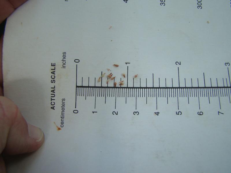 Eastern Mojave buckwheat - Eriogonum fasciculatum (ERFA2)