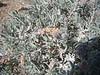 winterfat - Krascheninnikovia lanata (KRLA2)