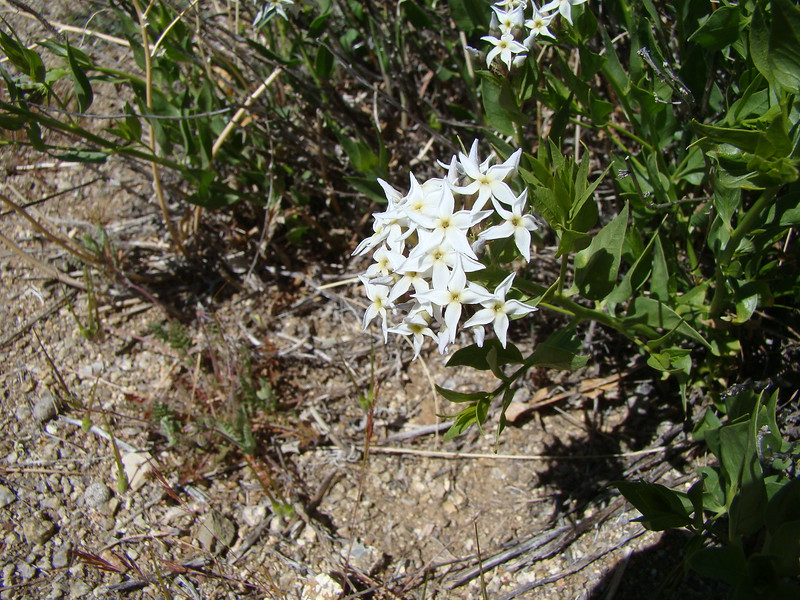 Woolly bluestar - Amsonia tomentosa (AMTO2)