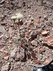 pincushion flower - Chaenactis fremontii (CHFR)