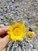 Desert marigold - Baileya multiradiata (BAMU)