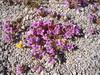 Purplemat - Nama demissum var. demissum (NADED)
