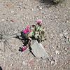 Beavertail pricklypear - Opuntia basilaris var. basilaris (OPBAB2)