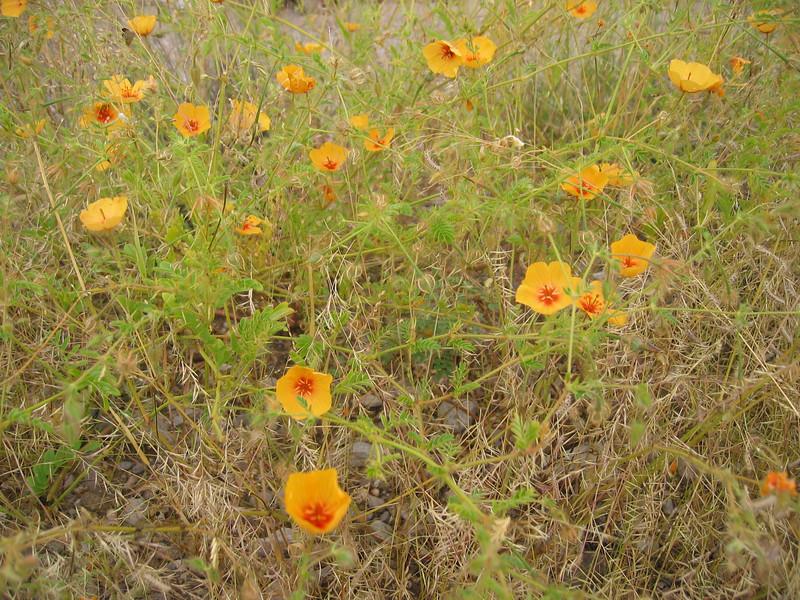 Arizona poppy - Kallstroemia grandiflora (KAGR)