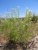 Mesa pepperwort - Lepidium alyssoides var. alyssoides (LEALA3)