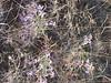 Hoary tansyaster - Machaeranthera canescens (MACA2)