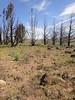 tapertip onion - Allium acuminatum (ALAC4)