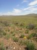 common yarrow - Achillea millefolium (ACMI2) growing in southeastern Oregon with Allium acuminatum, Astragalus curvicarpus, Lupinus sp. and Crepis sp.