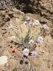 shaggy fleabane - Erigeron pumilus (ERPU2)