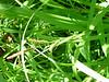 Bigleaf sedge - Carex amplifolia (CAAM10)