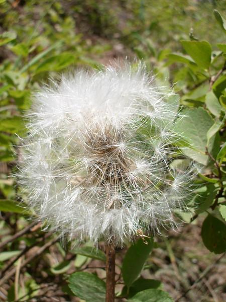Bigflower agoseris - Agoseris grandiflora (AGGR)