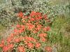 Castilleja spp.