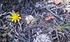 Common spring-gold - Crocidium multicaule (CRMU)