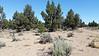 Salty Loco Milkvetch - Astragalus lentiginosus (ASLES)