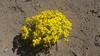 Common woolly sunflower - Eriophyllum lanatum (ERLA6)