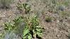 Carey's balsamroot - Balsamorhiza careyana (BACA3)