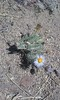 Purple Cushion Fleabane - Erigeron poliospermus (ERPO2)