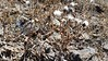 Baker's hawksbeard - Crepis bakeri (CRBA2)
