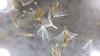Canada goldenrod - Solidago canadensis (SOCA6)