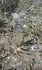Leafy fleabane - Erigeron foliosus (ERFO2)