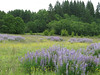Coyote Prairie Phase 1 restoration, seeded 2006/2007, restored from ryegrass field.  Owner:  City of Eugene.  Location:  Eugene area.