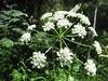 Celeryleaf licorice-root - Ligusticum apiifolium (LIAP)