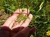 common lomatium - Lomatium utriculatum (LOUT)