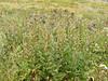 American saw-wort - Saussurea americana (SAAM3)