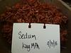 Cream stonecrop - Sedum oregonense (SEOR2)