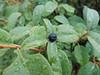 California buckthorn - Frangula californica (FRCA12)