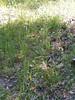 Alaska oniongrass - Melica subulata (MESU)