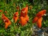 Scarlet monkeyflower - Mimulus cardinalis (MICA3)