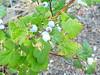Redflower currant - Ribes sanguineum (RISA)
