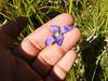Oneflower fringed gentian - Gentianopsis simplex (GESI3)