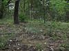 Indian warrior - Pedicularis densiflora (PEDE)