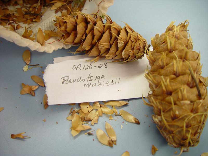 Douglas-fir - Pseudotsuga menziesii (PSME)