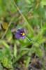 Idaho blue-eyed grass - Sisyrinchium idahoense (SIID)