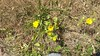 hairy gumweed - Grindelia hirsutula (GRHI)