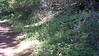 Pacific blacksnakeroot - Sanicula crassicaulis (SACR2)
