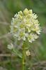 meadow deathcamas - Zigadenus venenosus (ZIVE)