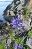 large camas - Camassia leichtlinii (CALE5)