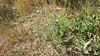 miniature lupine - Lupinus bicolor (LUBI)