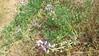 seashore lupine - Lupinus littoralis (LULI2)