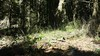 woodland madia - Madia madioides (MAMA)