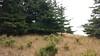 Alaska brome - Bromus sitchensis (BRSI)