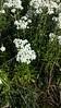 western pearly everlasting - Anaphalis margaritacea (ANMA)